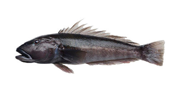 Bluecod Whole Fish For Web 6578B320438053Ef8571877D789D3479