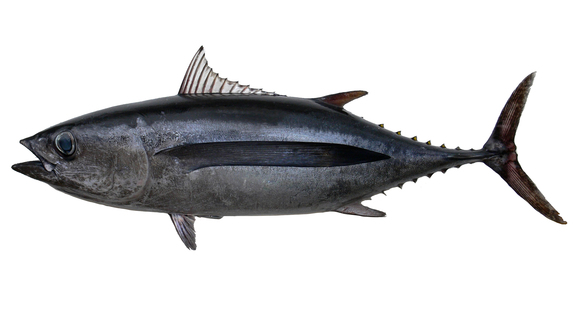 Albacore For Website
