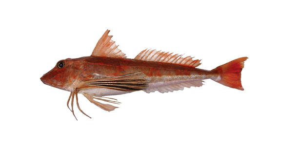 Gurnard New Ice For Web
