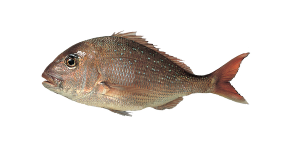 Snapper For Web