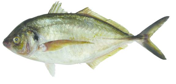 Trevally For Web